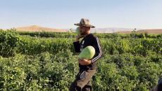 مزارعو سنجار يعانون الأمَرَّين بسبب نقاط التفتيش الأمنية
