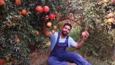 مزارع الرمان في شهربان.. ايقونة تعاني الاهمال والاندثار