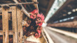 COVID-19 closes down majority of poultry farms in Sinjar